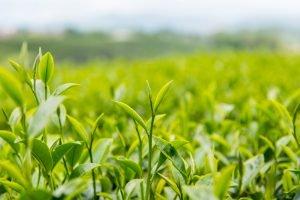 gruenteeblaetter sind ein inhaltsstoff von lipo 100
