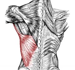 latissimus-dorsi-breiter-rueckenmuskel