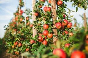 frische äpfel an apfelbäumen
