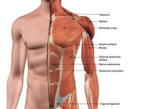 Aufbau Brustmuskeln und weiterer Muskeln des Oberkörpers