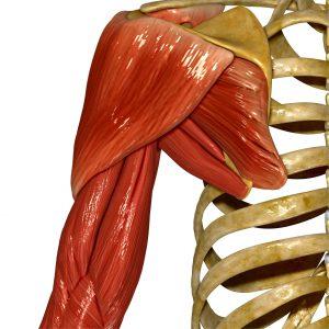 Rotatorenmanschette Anatomie