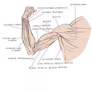 Schema der Muskeln im Arm