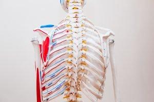 Schaubild Skelettmuskulatur Rücken