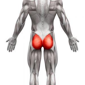 schaubild muskulatur