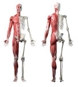 Skelett und Muskeln eines Mannes
